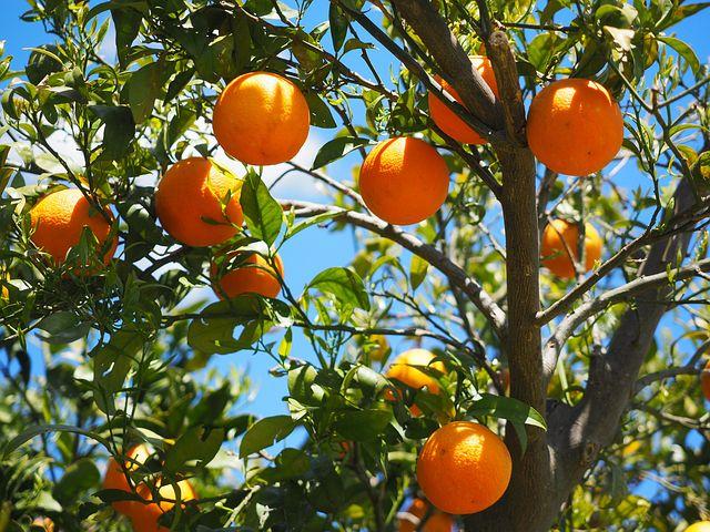 Quelques conseils pour entretenir un oranger